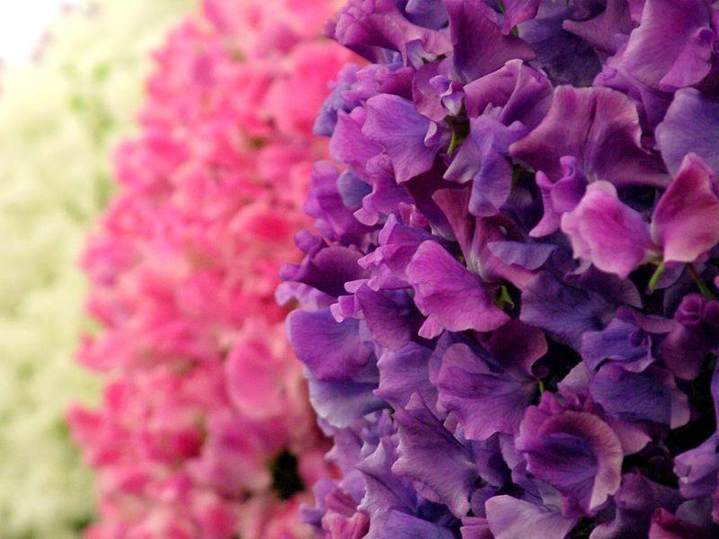 Sweetpea-flowers